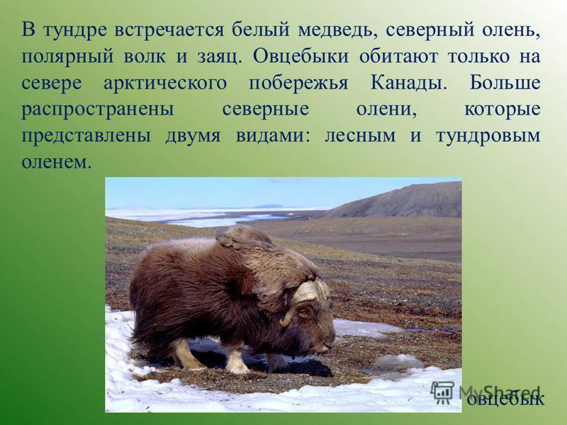 В тундре встречается белый медведь, северный олень, полярный волк и заяц. Овцебыки обитают только на севере арктического побережья Канады. Больше распространены северные олени, которые представлены двумя видами: лесным и тундровым оленем. овцебык