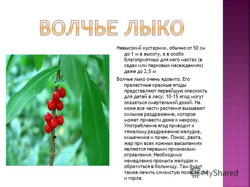 Невысокий кустарник, обычно от 50 см до 1 м в высоту, а в особо благоприятных для него местах (в садах или парковых насаждениях) даже до 2,5 м Волчье лыко очень ядовито. Его прелестные красные ягоды представляют первейшую опасность для детей в лесу: