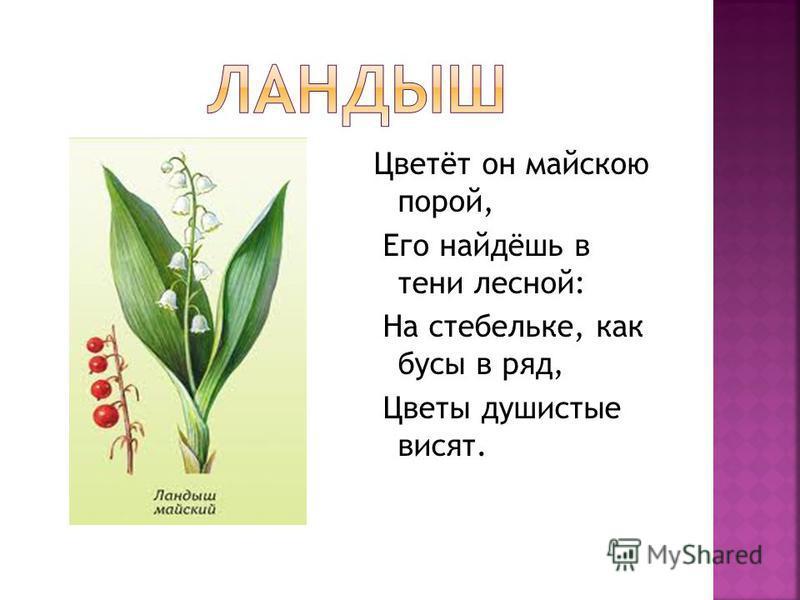 Цветёт он майскою порой, Его найдёшь в тени лесной: На стебельке, как бусы в ряд, Цветы душистые висят.