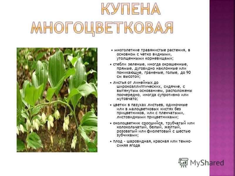 многолетние травянистые растения, в основном с четко видными, утолщенными корневищами; стебли зеленые, иногда окрашенные, прямые, дуговидно наклонные или поникающие, граненые, голые, до 90 см высотой; листья от линейных до широкоэллиптических, сидячи