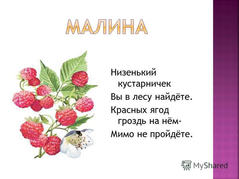 Низенький кустарничек Вы в лесу найдёте. Красных ягод гроздь на нём- Мимо не пройдёте.