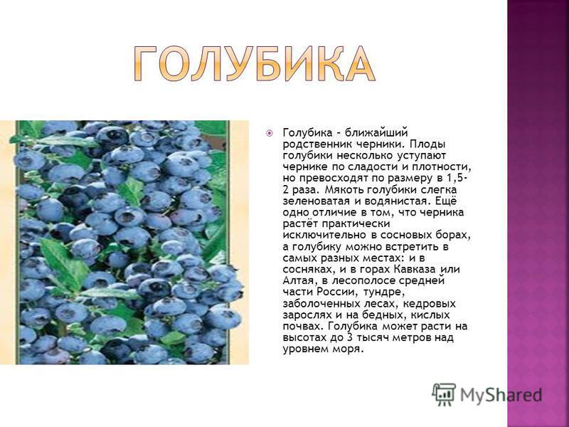Голубика – ближайший родственник черники. Плоды голубики несколько уступают чернике по сладости и плотности, но превосходят по размеру в 1,5- 2 раза. Мякоть голубики слегка зеленоватая и водянистая. Ещё одно отличие в том, что черника растёт практиче