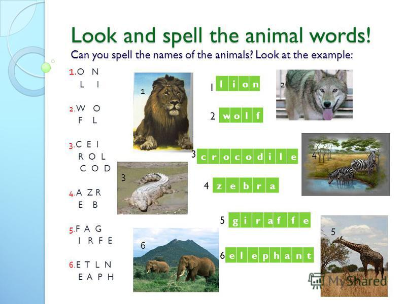 Look and spell the animal words! Can you spell the names of the animals? Look at the example: 1. O N L I 2.W O F L 3.C E I R O L C O D 4.A Z R E B 5.F A G I R F E 6.E T L N E A P H 1 1 2 5 4 6 lion wolf crocodile zebra giraffe elephant 3 4 1 2 3 4 5