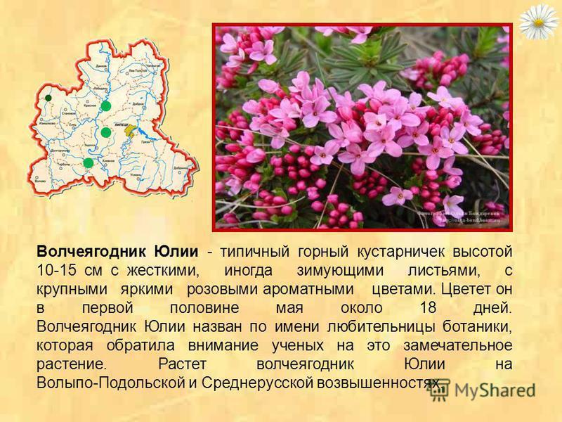 Волчеягодник Софьи - кустарник с ароматными белыми цветами, напоминающими цветы белой сирени. Волчеягодник Софьи зацветает во второй половине мая и цветет 18 дней. Ученые полагают, что это растение является третичным реликтом лесов и пришло па Средне