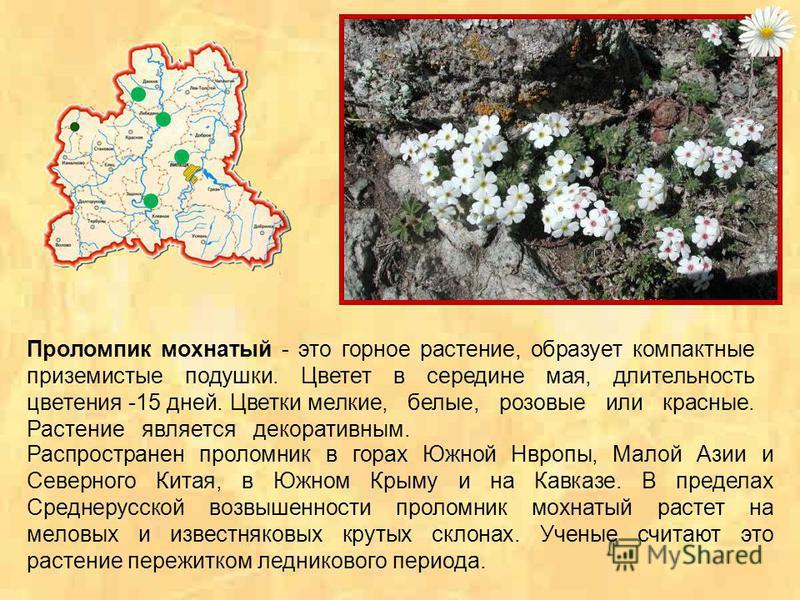 Полынь шелковистая - многолетнее растение. Цветоносных стеблей обычно несколько, до 40–70 см высотой. Они прямые или у основания восходящие, буроватые, вверху коротко-волосистые, ниже почти голые, простые или вверху ветвистые, облиственные. Листья с