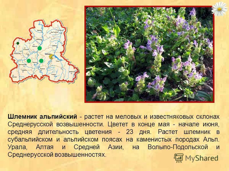 Шиверекия подольская - горно-альпийское растение, образует компактные серые подушки. В конце апреля и начале мая из этих подушек па отвесных известняковых склонах поднимается большое количество белых соцветий. Цветы имеют приятный медовый запах и цве