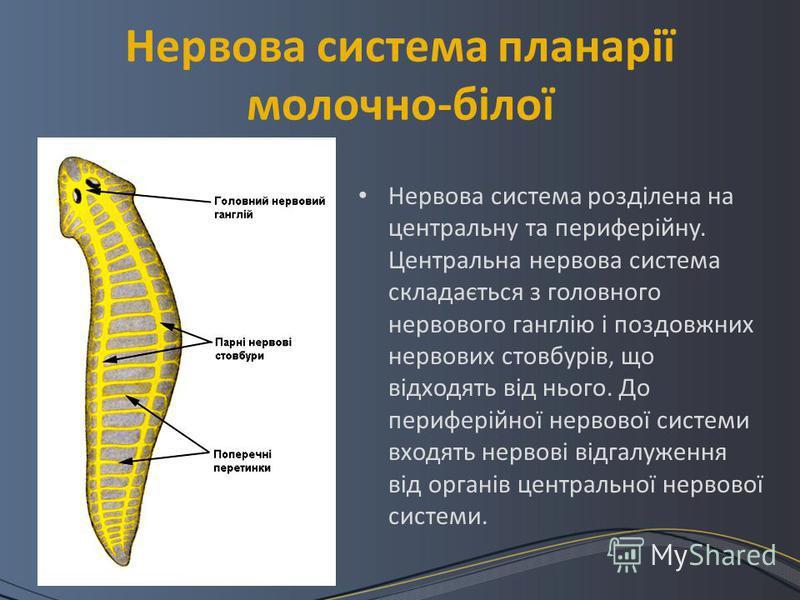 Нервова система планарії молочно-білої Нервова система розділена на центральну та периферійну. Центральна нервова система складається з головного нервового ганглію і поздовжних нервових стовбурів, що відходять від нього. До периферійної нервової сист