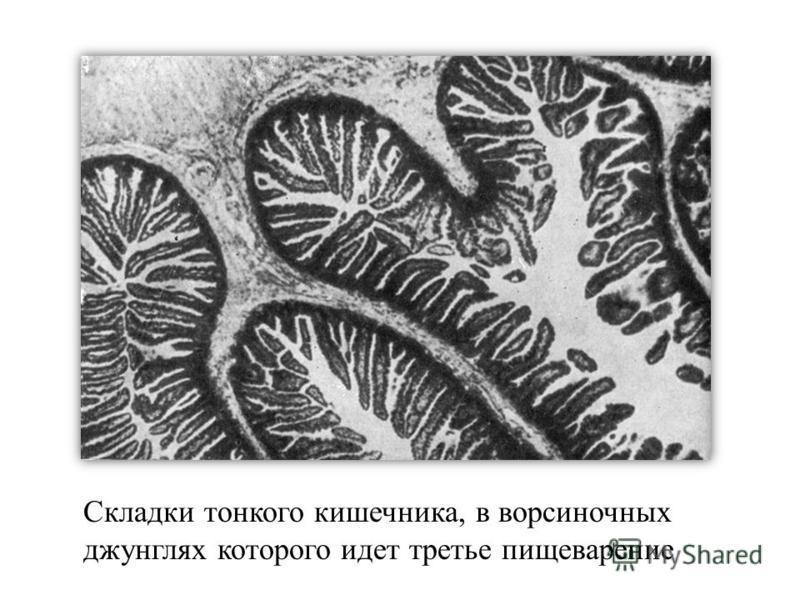 Складки тонкого кишечника, в ворсиночных джунглях которого идет третье пищеварение