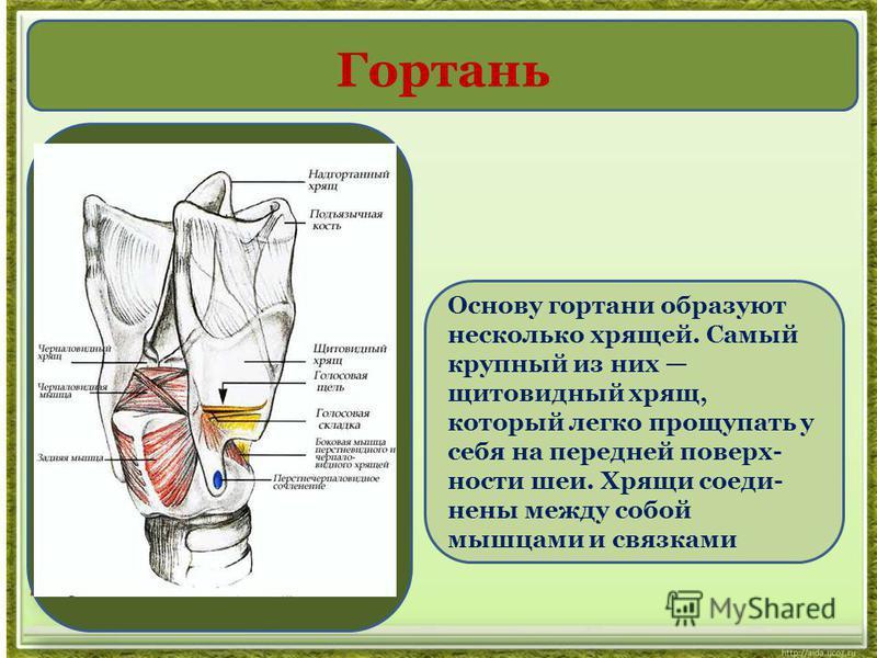 Основу гортани образуют несколько хрящей. Самый крупный из них щитовидный хрящ, который легко прощупать у себя на передней поверхности шеи. Хрящи соединены между собой мышцами и связками Гортань