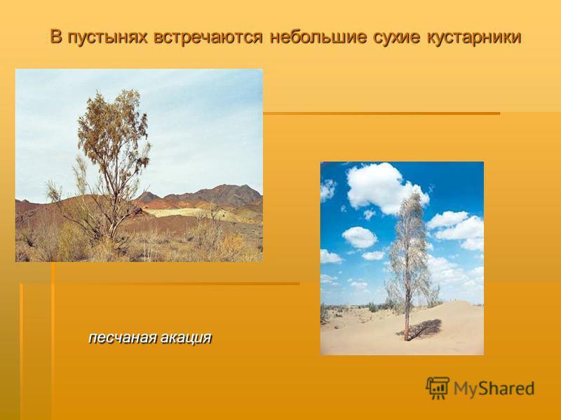 В пустынях встречаются небольшие сухие кустарники песчаная акация песчаная акация