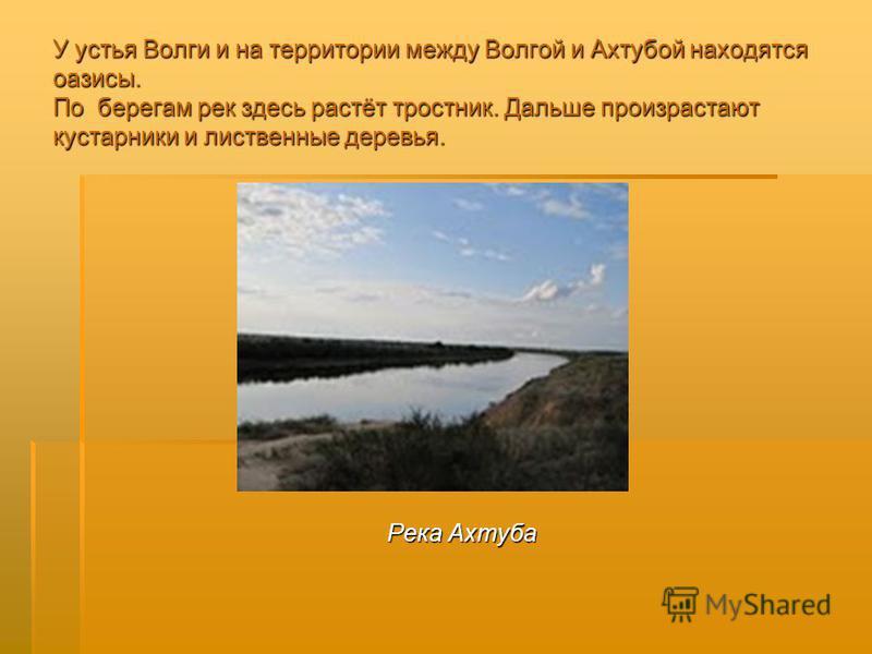 У устья Волги и на территории между Волгой и Ахтубой находятся оазисы. По берегам рек здесь растёт тростник. Дальше произрастают кустарники и лиственные деревья. Река Ахтуба