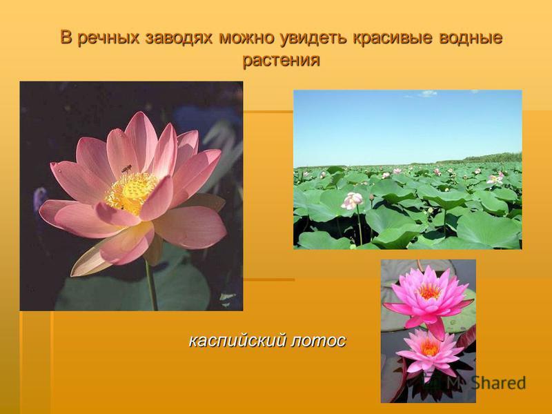 В речных заводях можно увидеть красивые водные растения каспийский лотос каспийский лотос