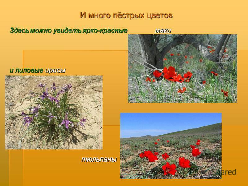 И много пёстрых цветов Здесь можно увидеть ярко-красные маки и лиловые ирисы тюльпаны тюльпаны