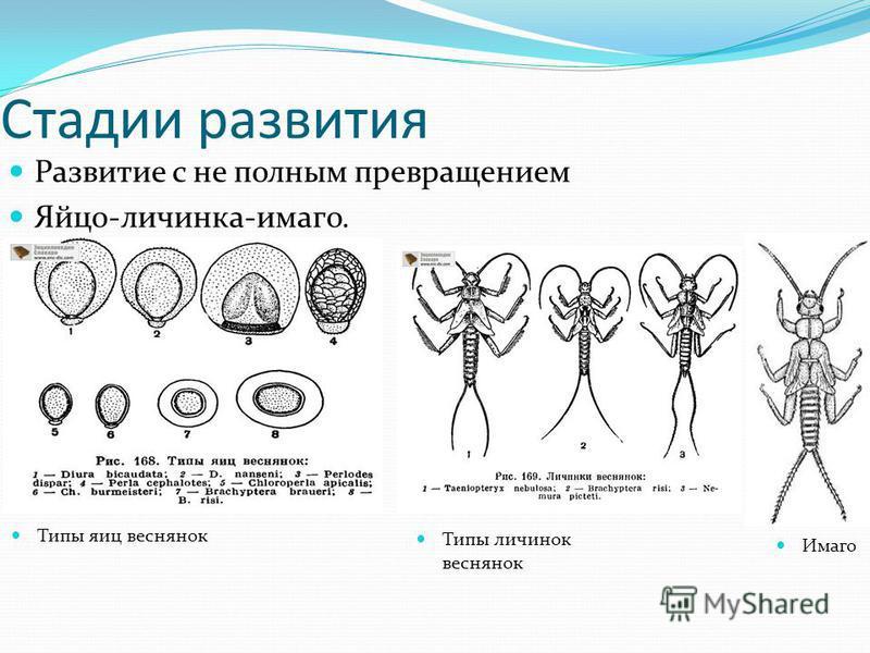 Стадии развития Развитие с не полным превращением Яйцо-личинка-имаго. Типы яиц веснянок Типы личинок веснянок Имаго