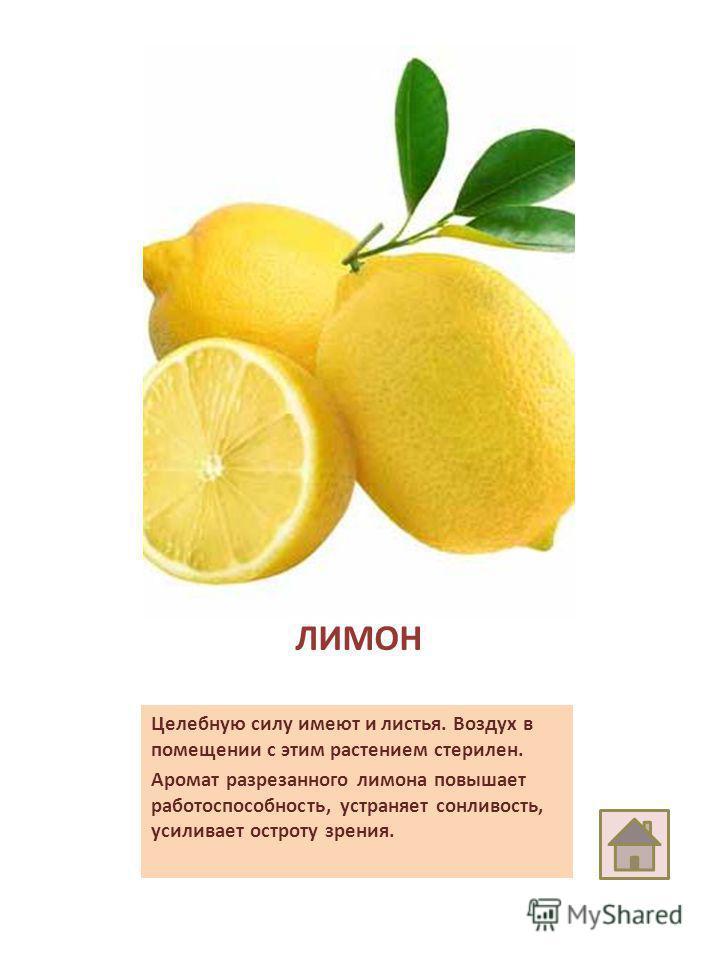 ЛИМОН Целебную силу имеют и листья. Воздух в помещении с этим растением стерилен. Аромат разрезанного лимона повышает работоспособность, устраняет сонливость, усиливает остроту зрения.
