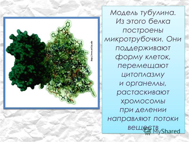 Модель тубулина. Из этого белка построены микротрубочки. Они поддерживают форму клеток, перемещают цитоплазму и органеллы, растаскивают хромосомы при делении направляют потоки веществ