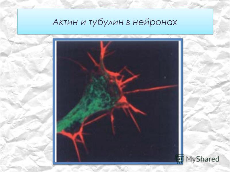 Актин и тубулин в нейронах