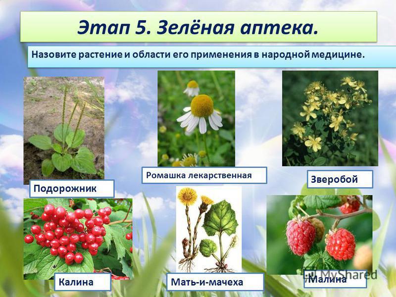 Этап 5. Зелёная аптека. Назовите растение и области его применения в народной медицине. Зверобой Ромашка лекарственная Малина Мать-и-мачеха Подорожник Калина