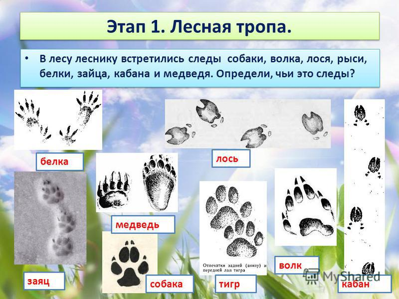 Этап 1. Лесная тропа. В лесу леснику встретились следы собаки, волка, лося, рыси, белки, зайца, кабана и медведя. Определи, чьи это следы? белка заяц медведь собака тигр волк лось кабан
