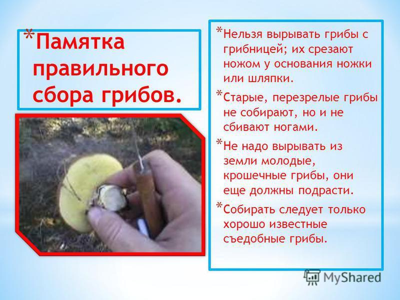 * Памятка правильного сбора грибов. * Нельзя вырывать грибы с грибницей; их срезают ножом у основания ножки или шляпки. * Старые, перезрелые грибы не собирают, но и не сбивают ногами. * Не надо вырывать из земли молодые, крошечные грибы, они еще долж