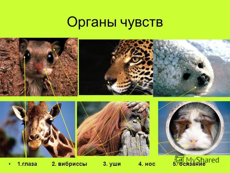 Органы чувств 1. глаза 2. вибриссы 3. уши 4. нос 5. осязание