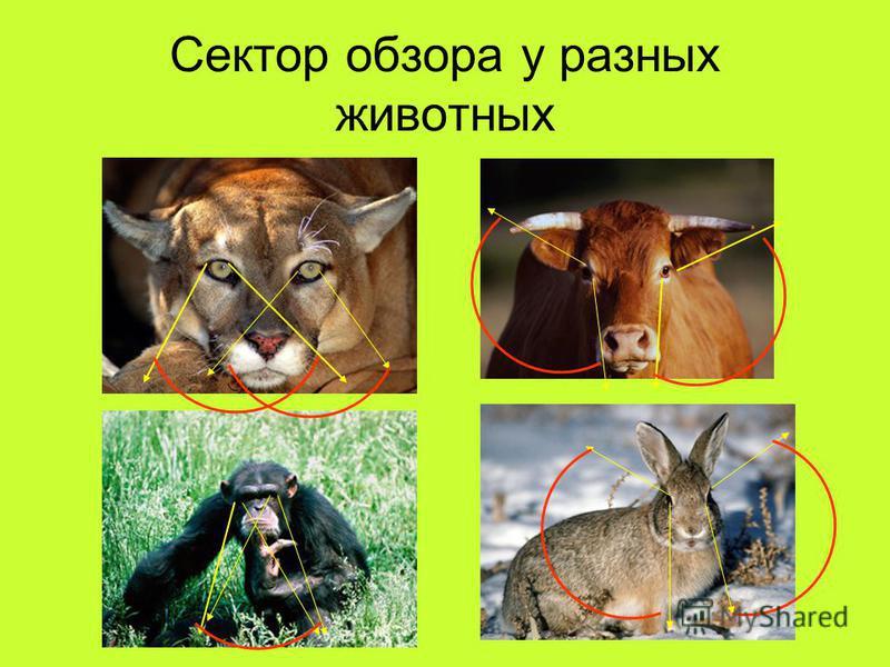 Сектор обзора у разных животных