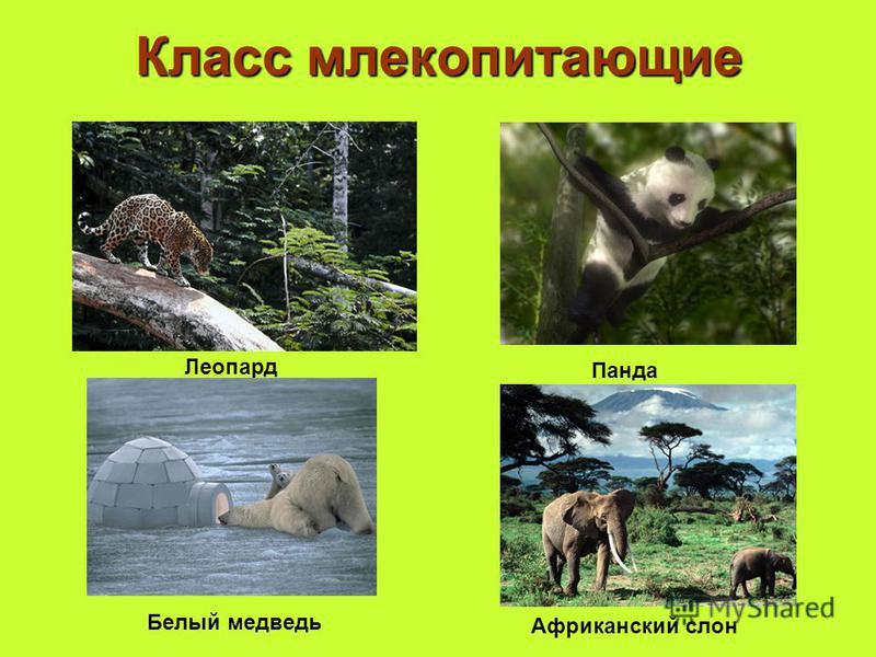 Класс млекопитающие Леопард Панда Белый медведь Африканский слон