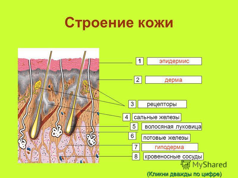 Строение кожи 1 2 3 4 5 6 7 8 эпидермис дерма гиподерма рецепторы сальные железы волосяная луковица потовые железы кровеносные сосуды (Кликни дважды по цифре)