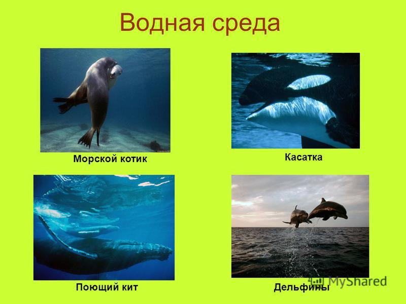 Водная среда Морской котик Касатка Поющий кит Дельфины