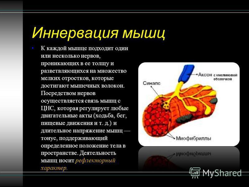 Иннервация мышц К каждой мышце подходит один или несколько нервов, проникающих в ее толщу и разветвляющихся на множество мелких отростков, которые достигают мышечных волокон. Посредством нервов осуществляется связь мышц с ЦНС, которая регулирует любы
