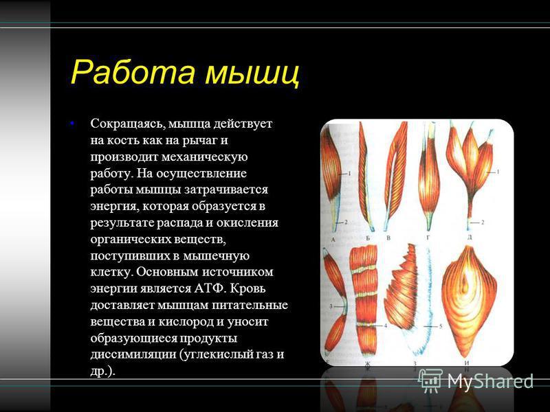 Работа мышц Сокращаясь, мышца действует на кость как на рычаг и производит механическую работу. На осуществление работы мышцы затрачивается энергия, которая образуется в результате распада и окисления органических веществ, поступивших в мышечную клет