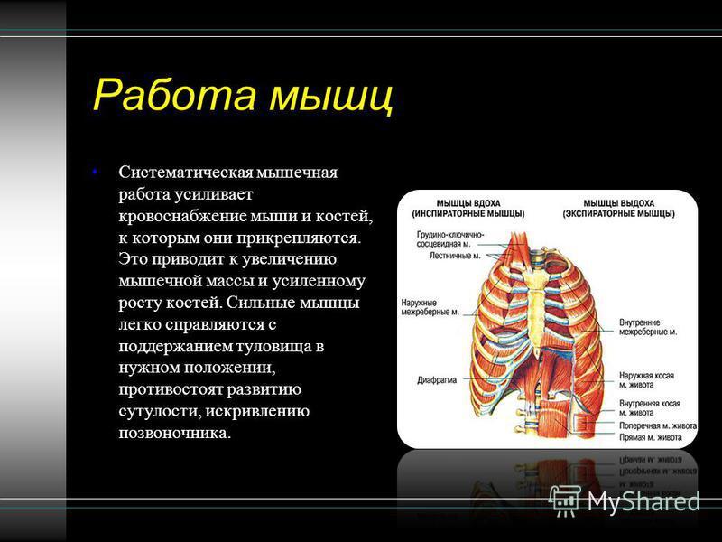 Работа мышц Систематическая мышечная работа усиливает кровоснабжение мыши и костей, к которым они прикрепляются. Это приводит к увеличению мышечной массы и усиленному росту костей. Сильные мышцы легко справляются с поддержанием туловища в нужном поло