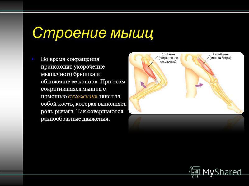 Строение мышц Во время сокращения происходит укорочение мышечного брюшка и сближение ее концов. При этом сократившаяся мышца с помощью сухожилия тянет за собой кость, которая выполняет роль рычага. Так совершаются разнообразные движения.