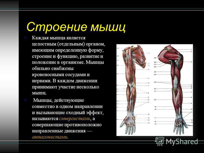 Строение мышц Каждая мышца является целостным (отдельным) органом, имеющим определенную форму, строение и функцию, развитие и положение в организме. Мышцы обильно снабжены кровеносными сосудами и нервами. В каждом движении принимают участие несколько