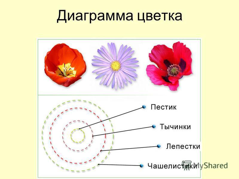 Диаграмма цветка