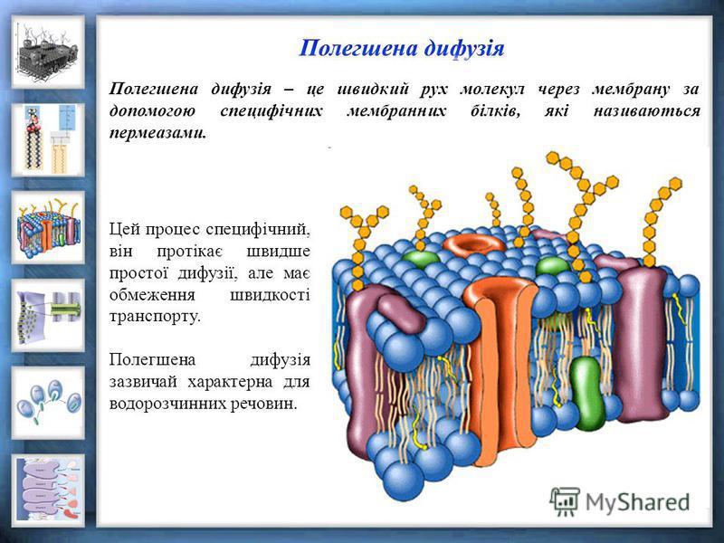 Полегшена дифузія – це швидкий рух молекул через мембрану за допомогою специфічних мембранних білків, які називаються пермеазами. Цей процес специфічний, він протікає швидше простої дифузії, але має обмеження швидкості транспорту. Полегшена дифузія з