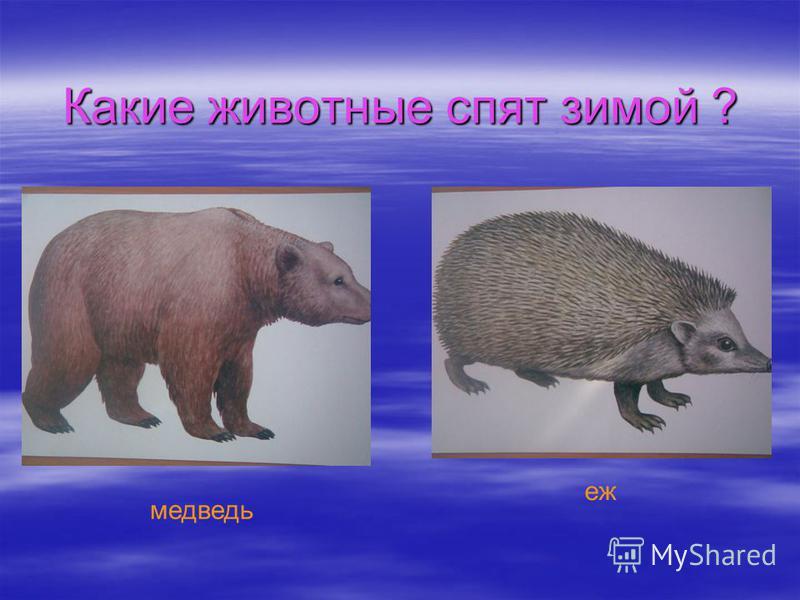 Какие животные спят зимой ? медведь еж