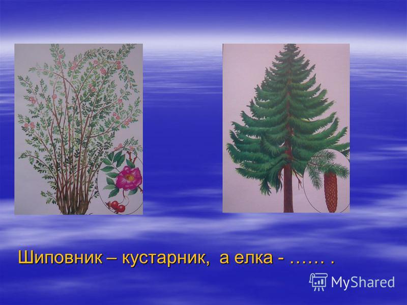 Шиповник – кустарник, а елка - …….