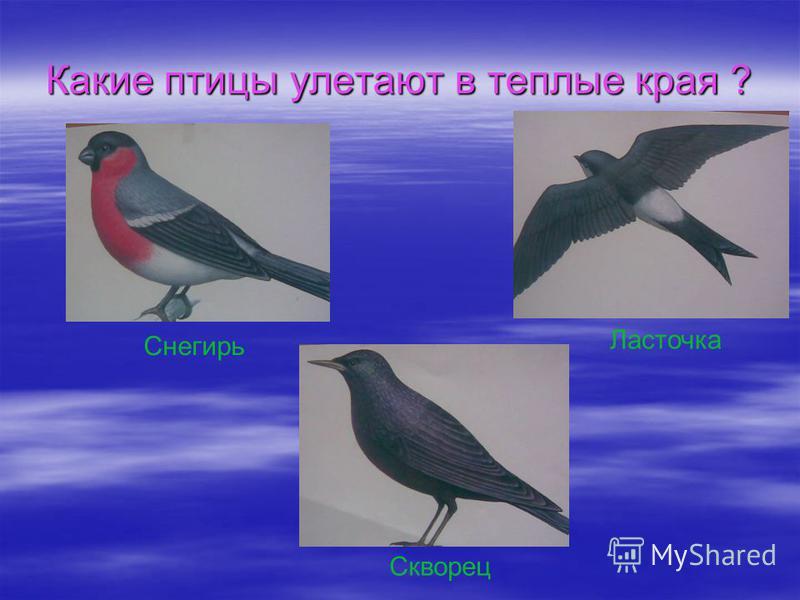 Какие птицы улетают в теплые края ? Снегирь Ласточка Скворец