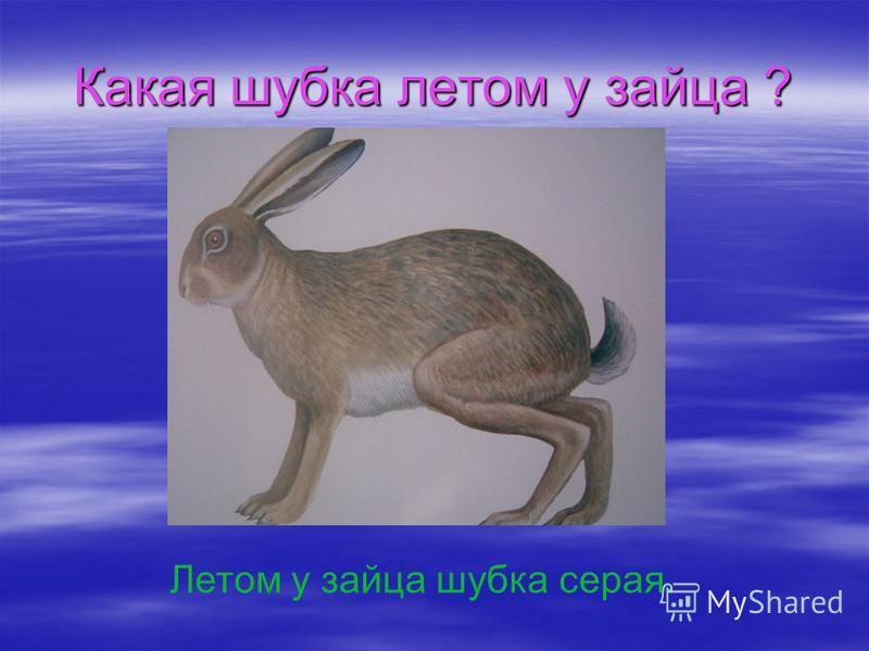 Какая шубка летом у зайца ? Летом у зайца шубка серая.