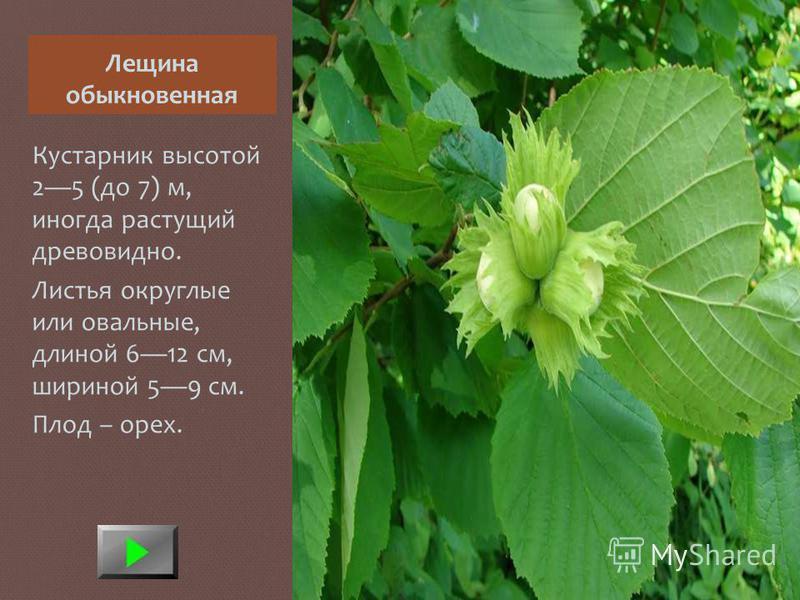 Лещина обыкновенная Кустарник высотой 25 (до 7) м, иногда растущий древовидно. Листья округлые или овальные, длиной 612 см, шириной 59 см. Плод – орех.