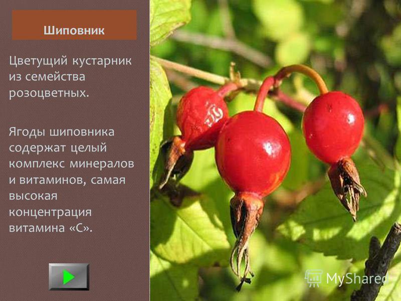 Шиповник Цветущий кустарник из семейства розоцветных. Ягоды шиповника содержат целый комплекс минералов и витаминов, самая высокая концентрация витамина «С».