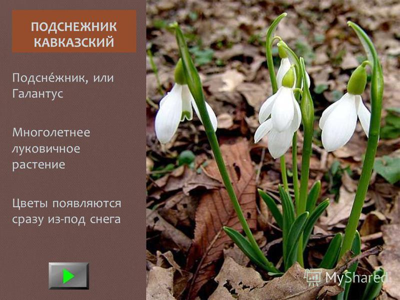 ПОДСНЕЖНИК КАВКАЗСКИЙ Подсне́жник, или Галантус Многолетнее луковичное растение Цветы появляются сразу из-под снега