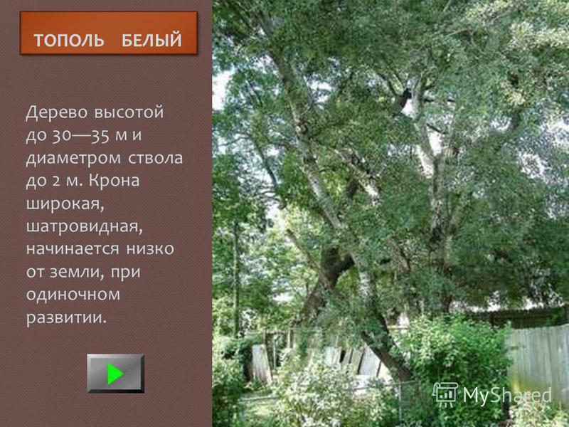 ТОПОЛЬ БЕЛЫЙ Дерево высотой до 3035 м и диаметром ствола до 2 м. Крона широкая, шатровидная, начинается низко от земли, при одиночном развитии.