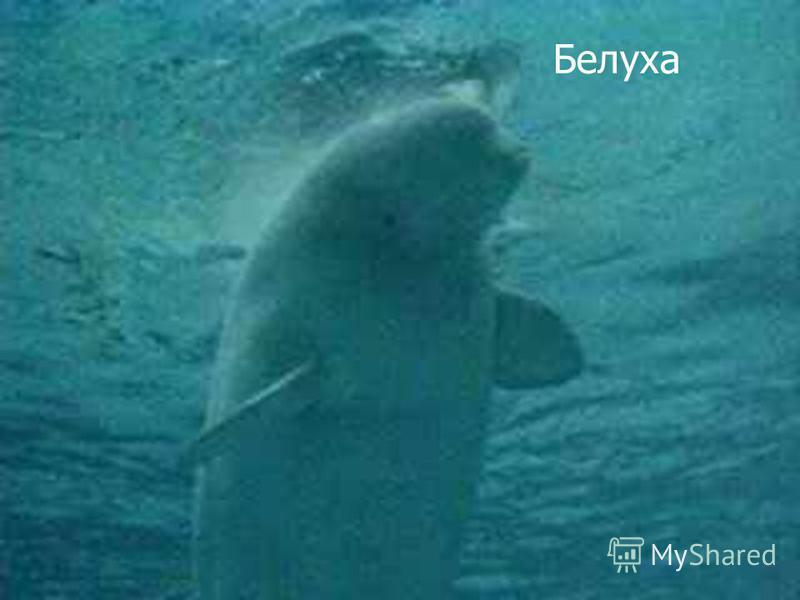 Белуха крупный дельфин. Самцы достигают 6 метров длины и весят до 2 тонн. Самки меньше. Новорожденный детеныш совсем невелик - всего 1,5 метра, но быстро растет, питаясь материнским молоком, в котором 2733 процента жира. Название белух связано с бело