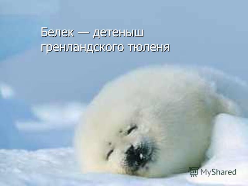Гренландский тюлень Длина матерого самца превышает 2 м, а масса достигает 360 кг; самки почти такие же по размерам, но отличаются по окраске. Длина матерого самца превышает 2 м, а масса достигает 360 кг; самки почти такие же по размерам, но отличаютс