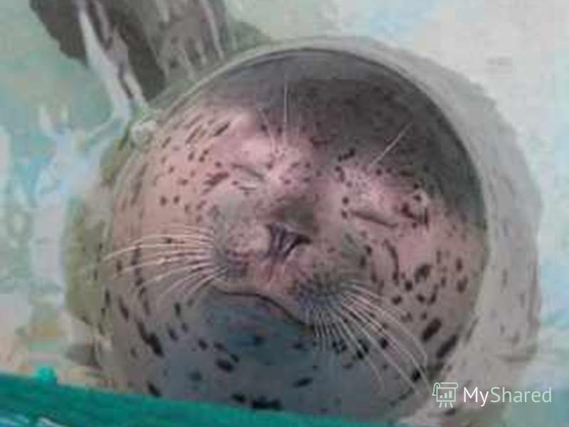 Кольчатая нерпа Длина тела у взрослого самца до 1,8 м. Длина тела у взрослого самца до 1,8 м. Это – единственный из всех тюленей, строящий гнездо для своих детенышей. Это – единственный из всех тюленей, строящий гнездо для своих детенышей. Обычно нер
