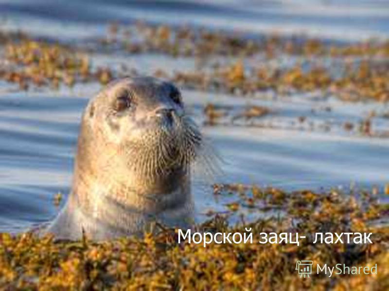 Морской заяц- лахтак