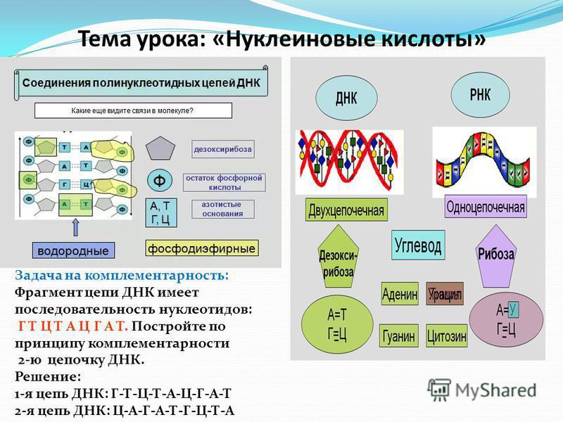 Тема урока: «Нуклеиновые кислоты» Задача на комплементарность: Фрагмент цепи ДНК имеет последовательность нуклеотидов: Г Т Ц Т А Ц Г А Т. Постройте по принципу комплементарности 2-ю цепочку ДНК. Решение: 1-я цепь ДНК: Г-Т-Ц-Т-А-Ц-Г-А-Т 2-я цепь ДНК: