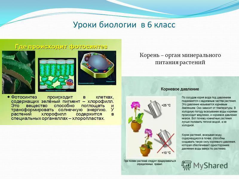 Уроки биологии в 6 класс Корень – орган минерального питания растений